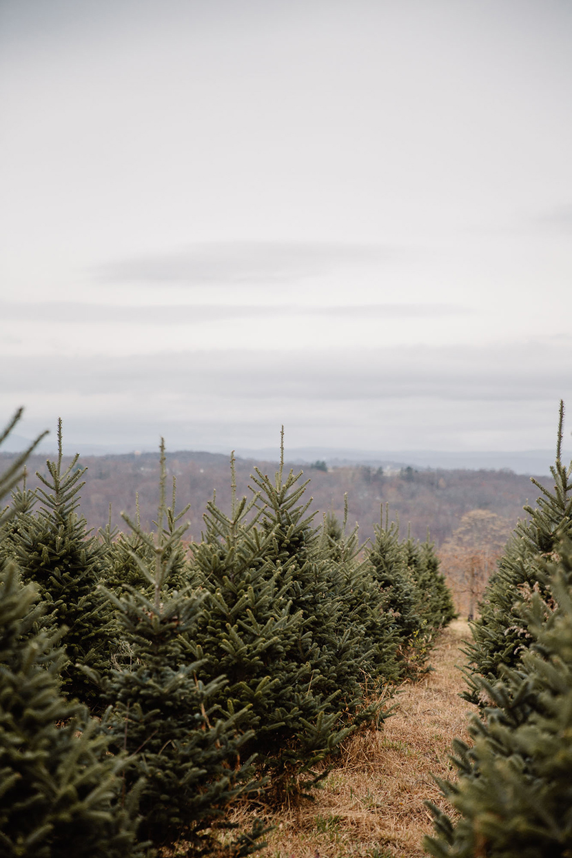 cut down christmas tree wilkens fig and fur farm