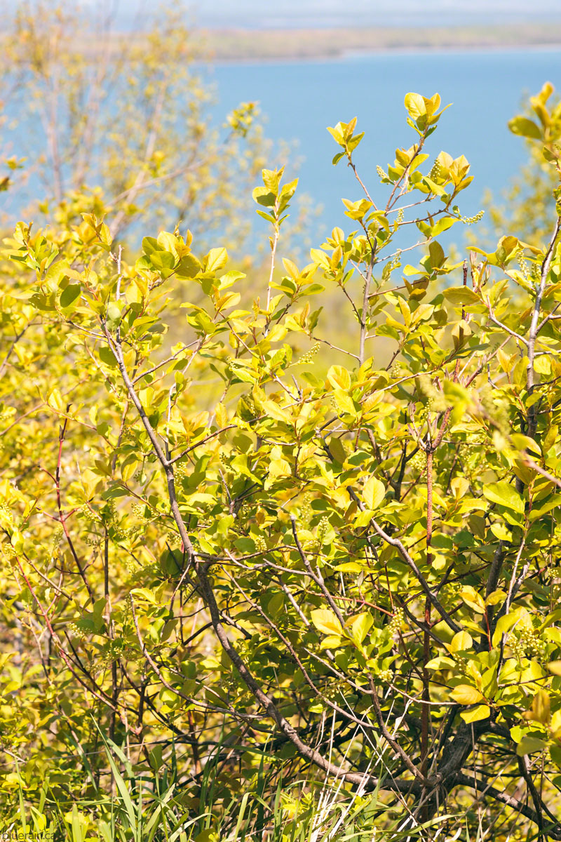 manitoulin-island-ontario-canada-spring-buds