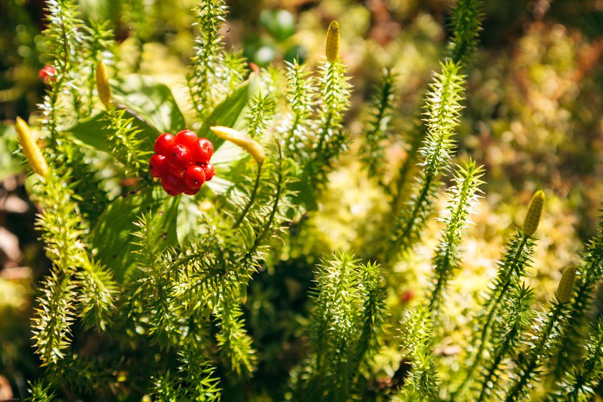 berries-sunshine-churchill-falls-labrador