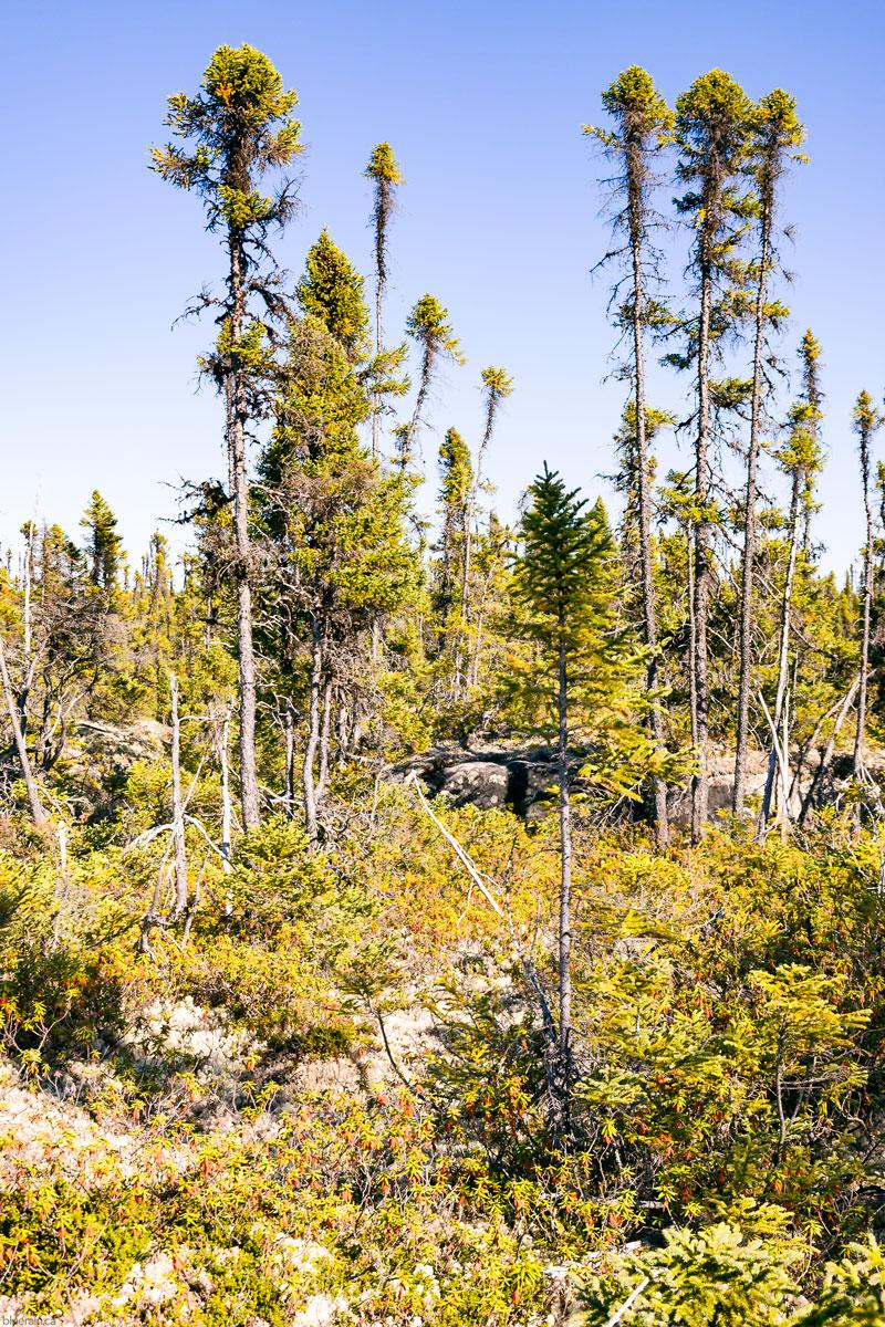 trees-churchill-falls-labrador-canada