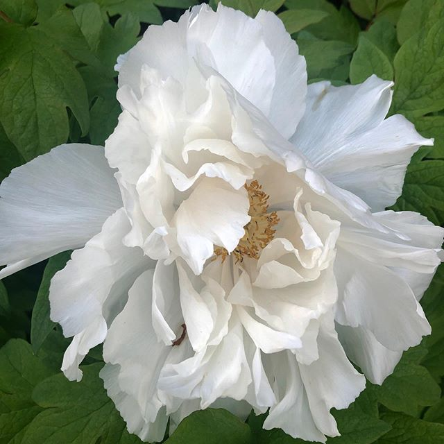 I so look forward to the blooming of my tree peony. Beautiful. . . . . . . . . . . #flowers #treepeony #whiteflowers #light #green #blooms