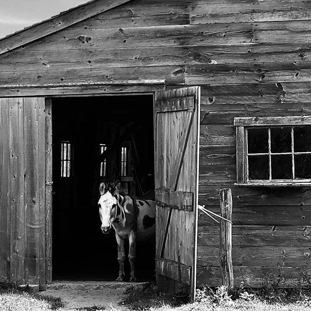 Hello there! . . . . . . . . . . #westtisbury #donkey #barndoor #barn #blackandwhitephotography