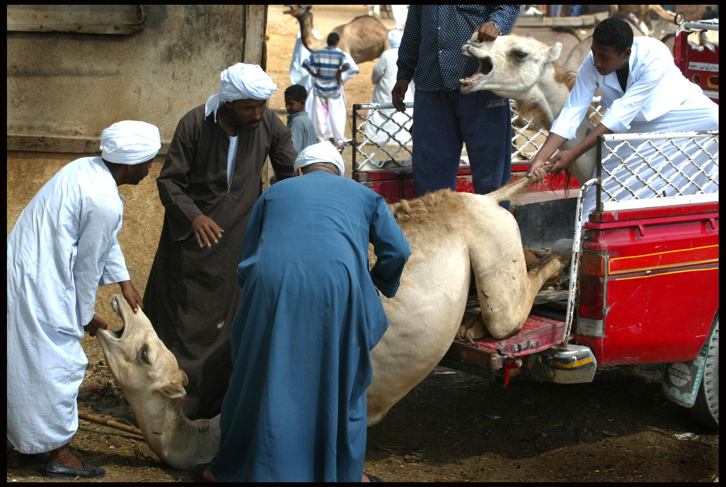 The camel market, Birqash