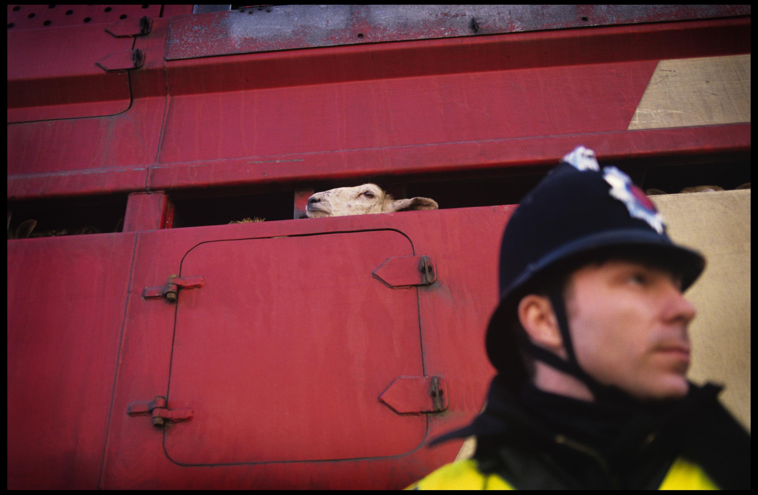 Exportation of livestock to europe demonstrations, Essex