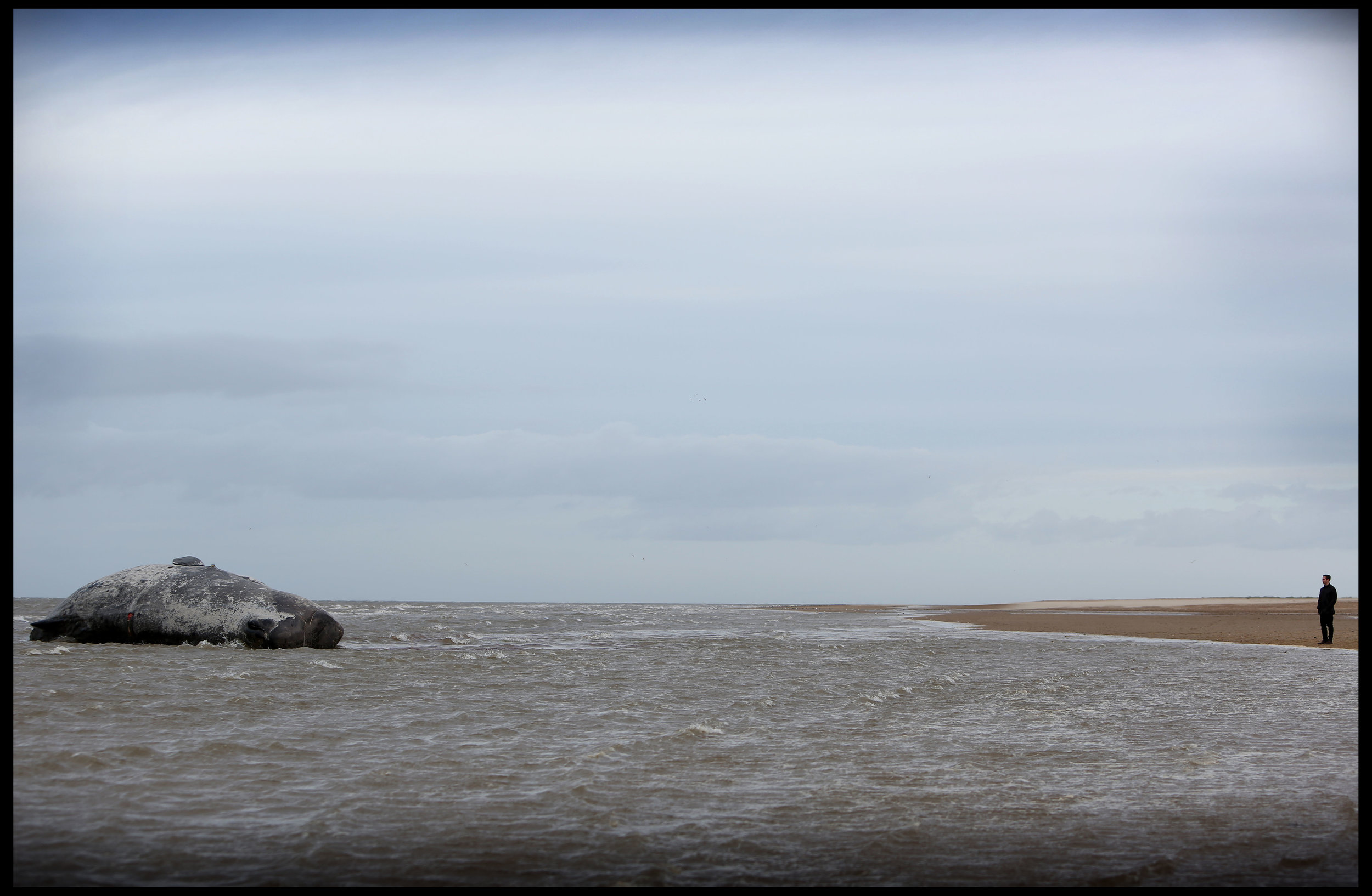 Beached sperm whale, Old Hunstanton, Norfolk