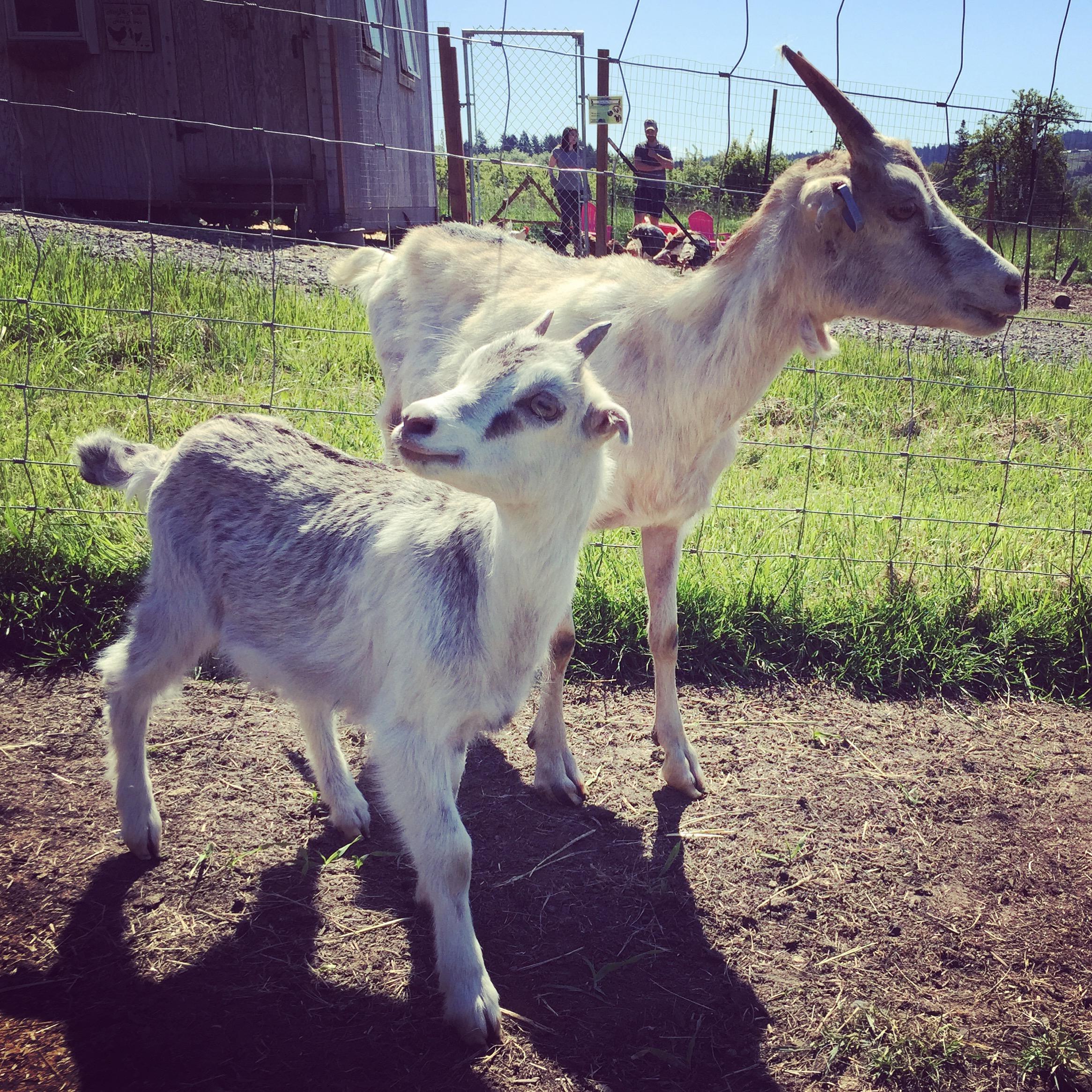 Wildwood Goats