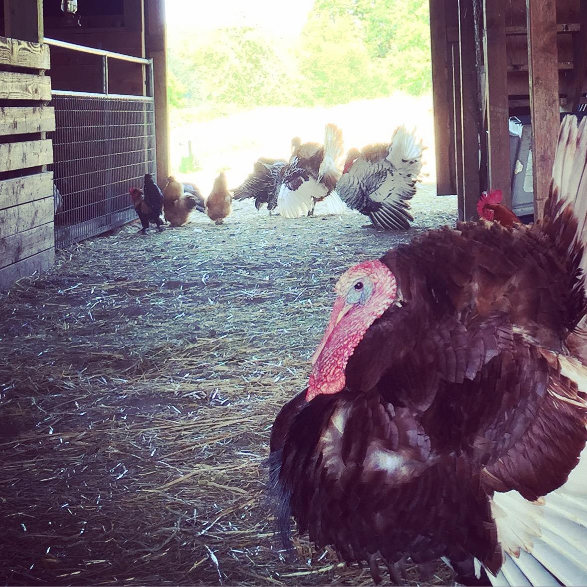 Wildwood Turkeys