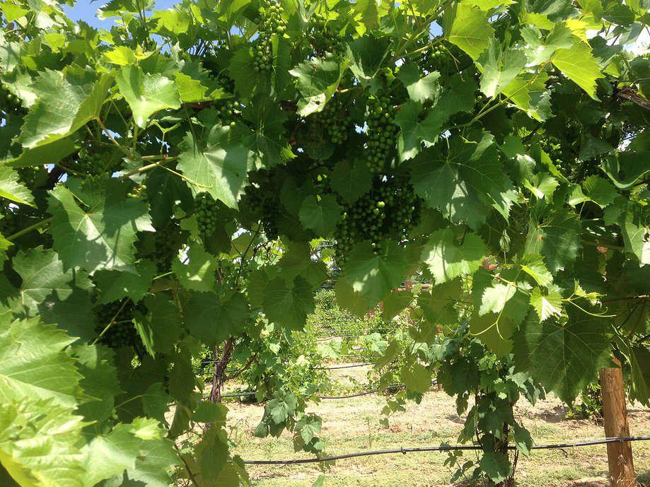 vines2.jpg