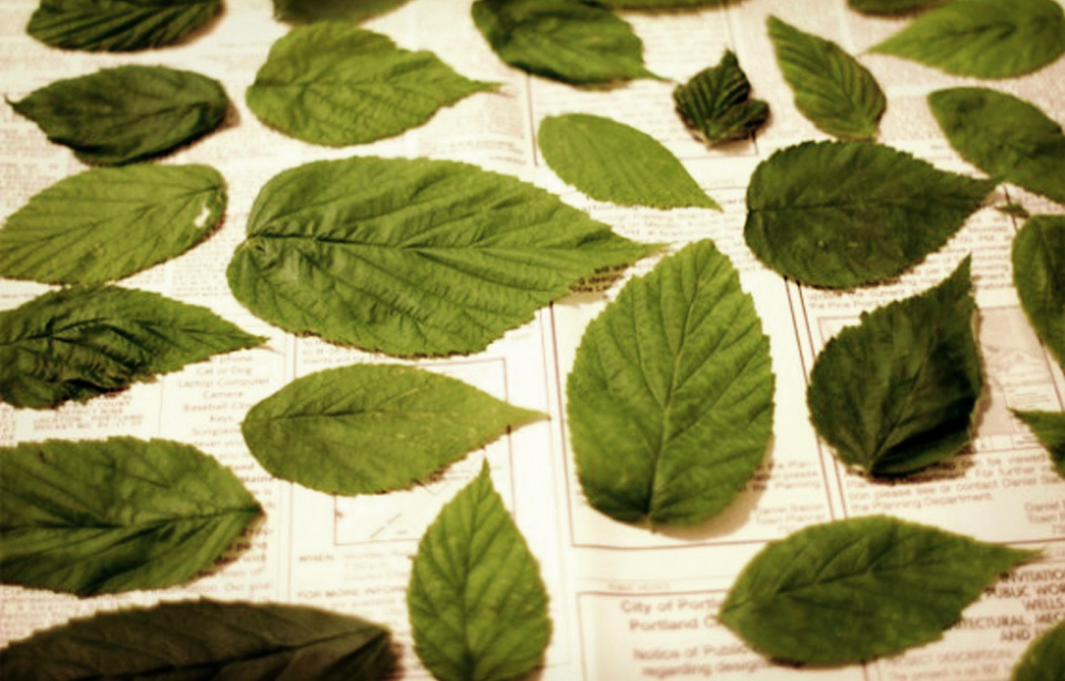 Raspberry Leaves Drying