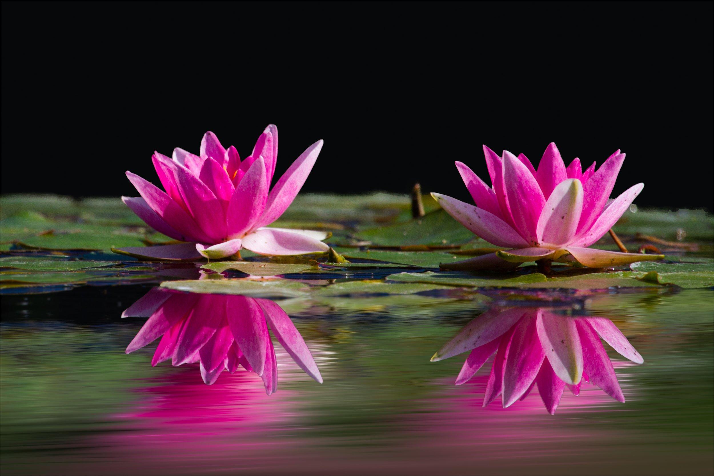water-lilies-pink-water-lake.jpeg