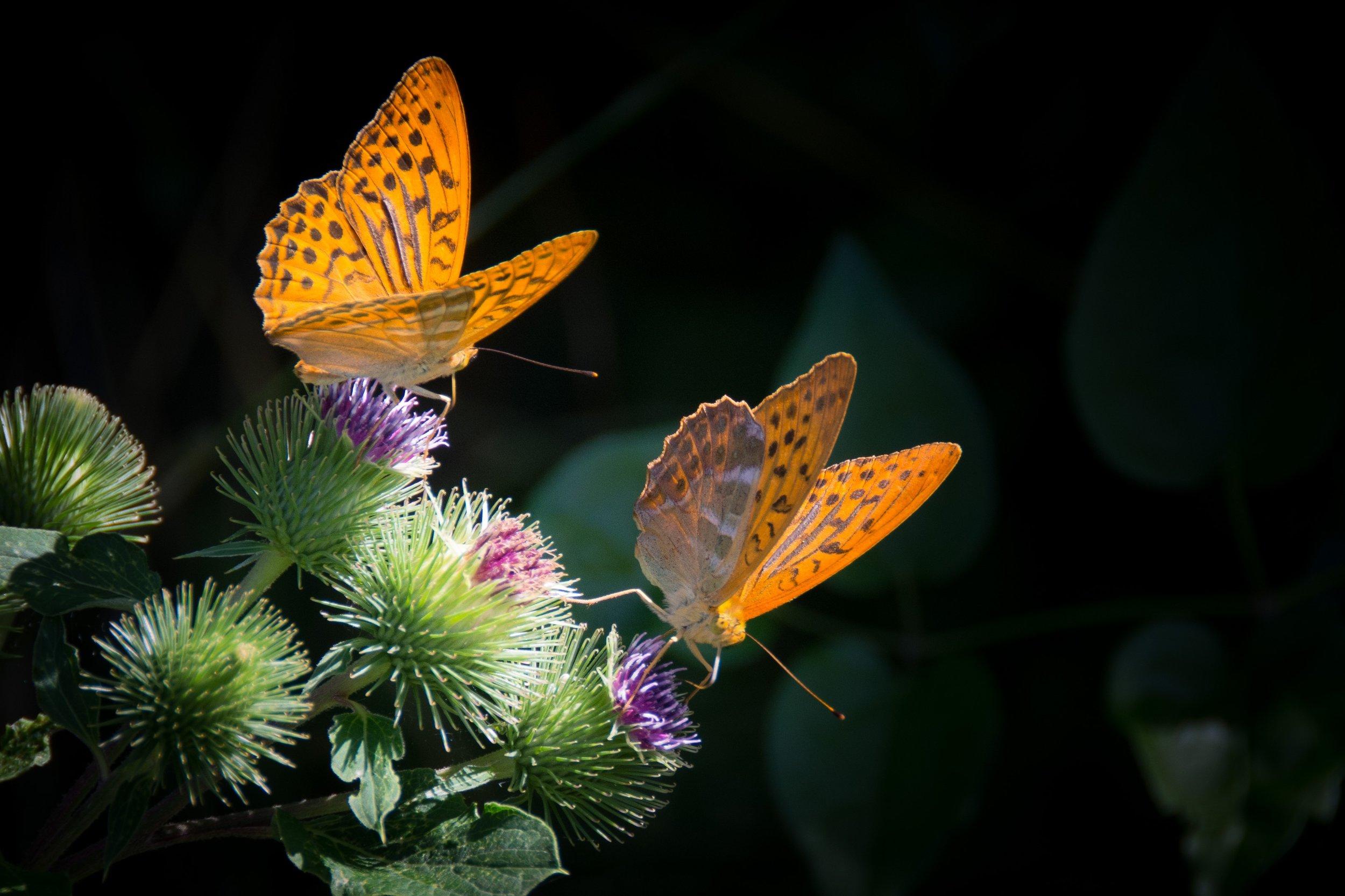 butterfly-nature-orange.jpg