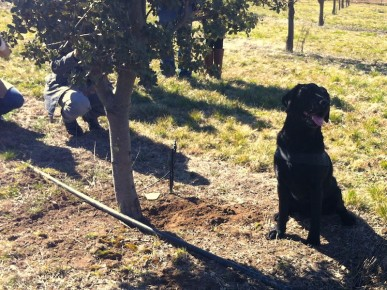 One of Australia's best truffle dogs, Samson