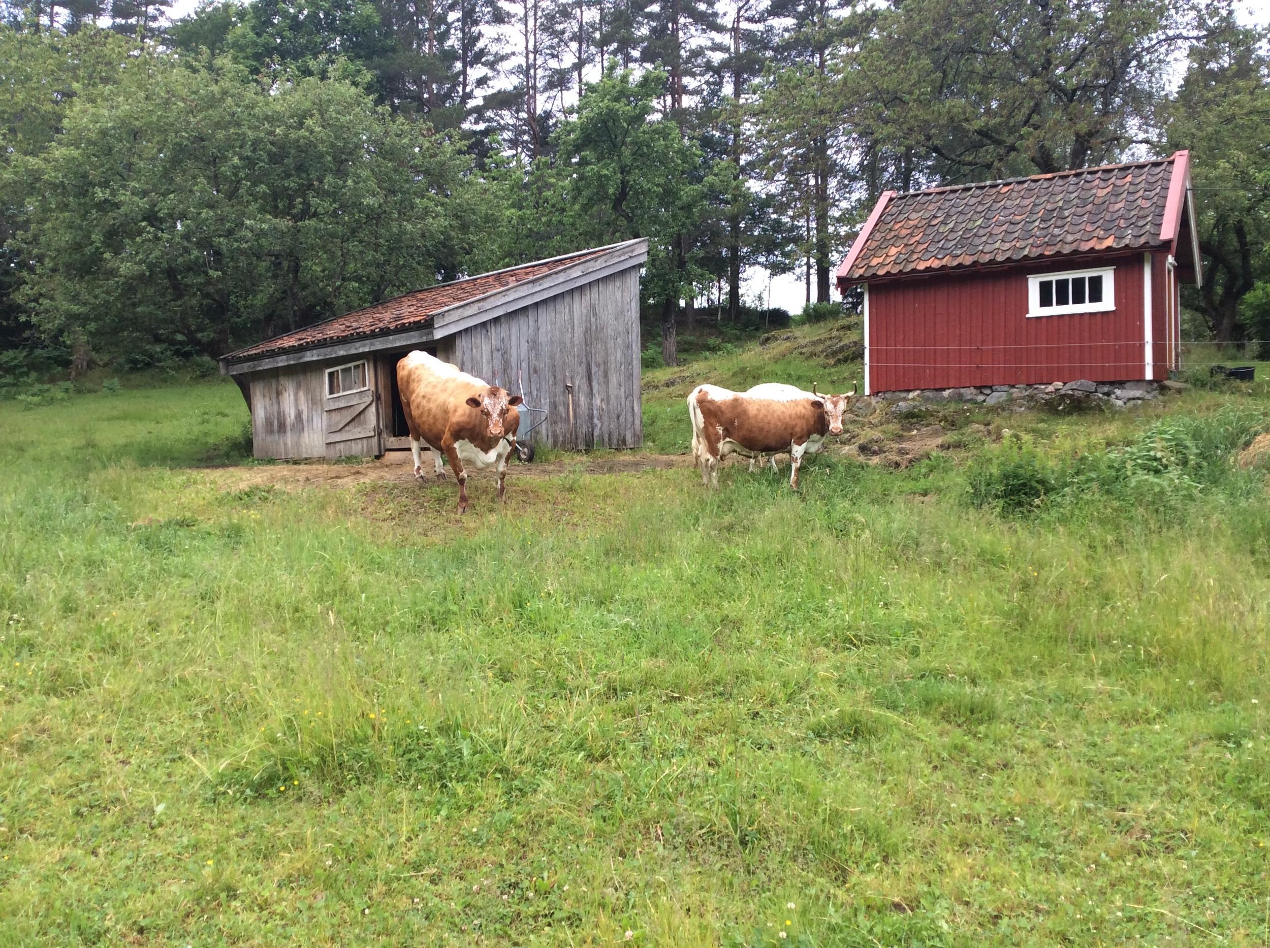 Et par av Telemarks kuene til Anne Helene Ramleth på beite i Tvedestrand.