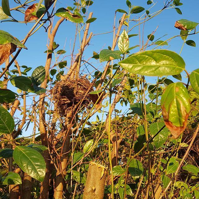 #birdnest #gardening #morningtonpeninsula