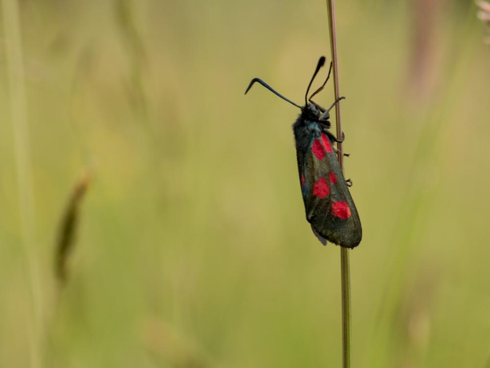 Five spot Burnet moth.Canon 250D close up lens on a Canon 50mm f/14. Canon 70D