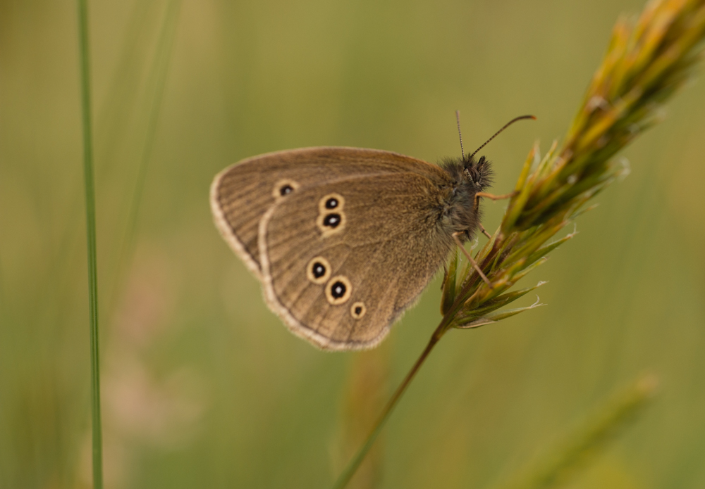 Ringlet butterfly,Canon 250D close up lens on a Canon 50mm f/14. Canon 70D