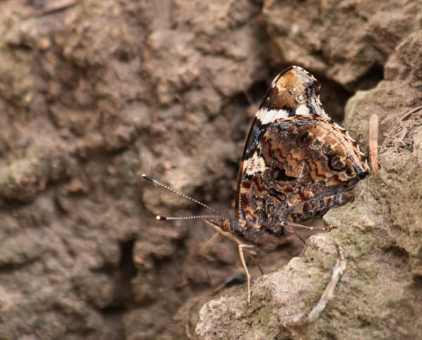 Red Admiral butterfly, disguised on old cork tree bark