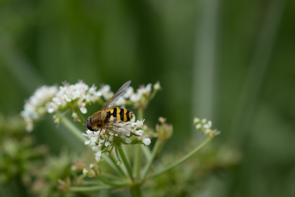 Hoverfly, scrubland, Northern Ireland