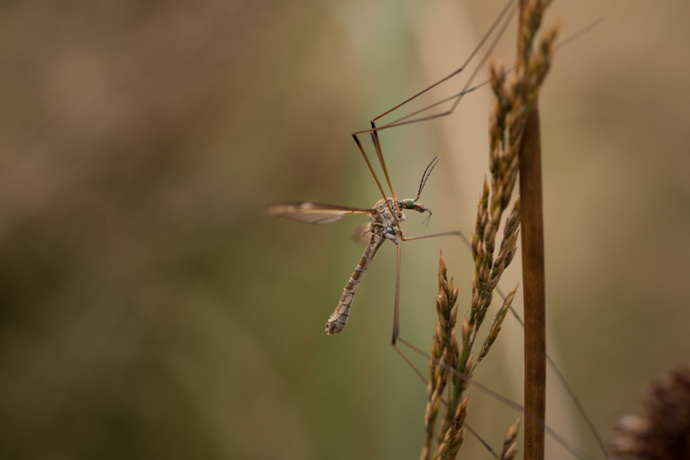 Cranefly, insect, scrubland, Northern Ireland