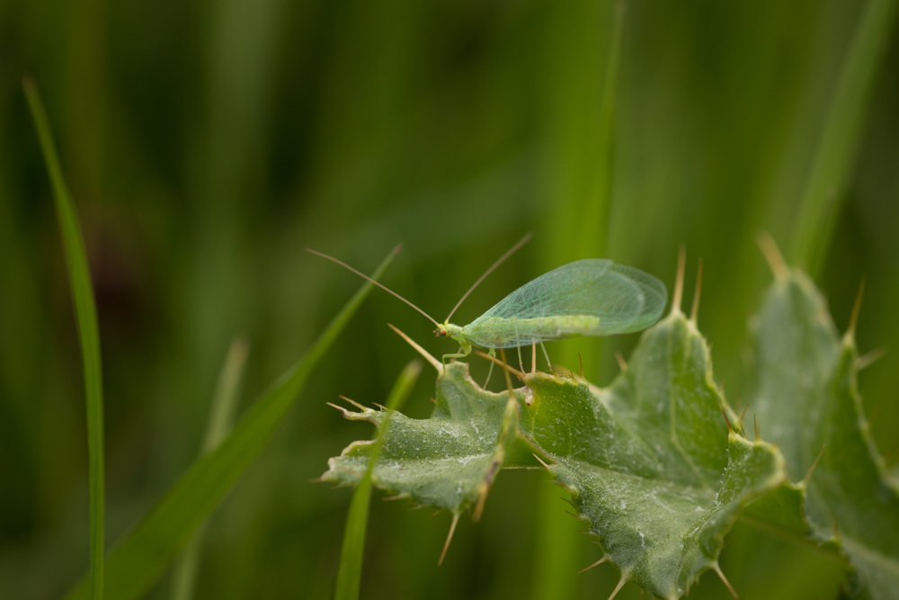 Lacewing, insect, scrubland, Northern Ireland