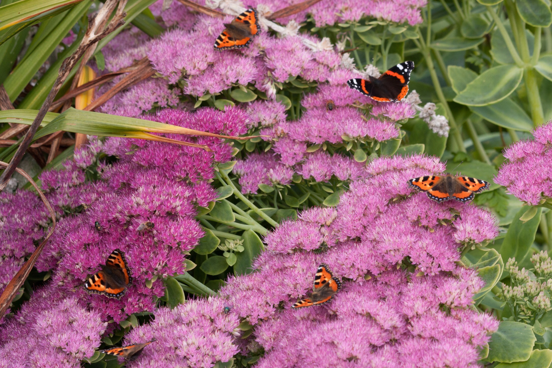 Ring a ring of fluttering wings : Small Tortoiseshells dancing with a Red Admiral