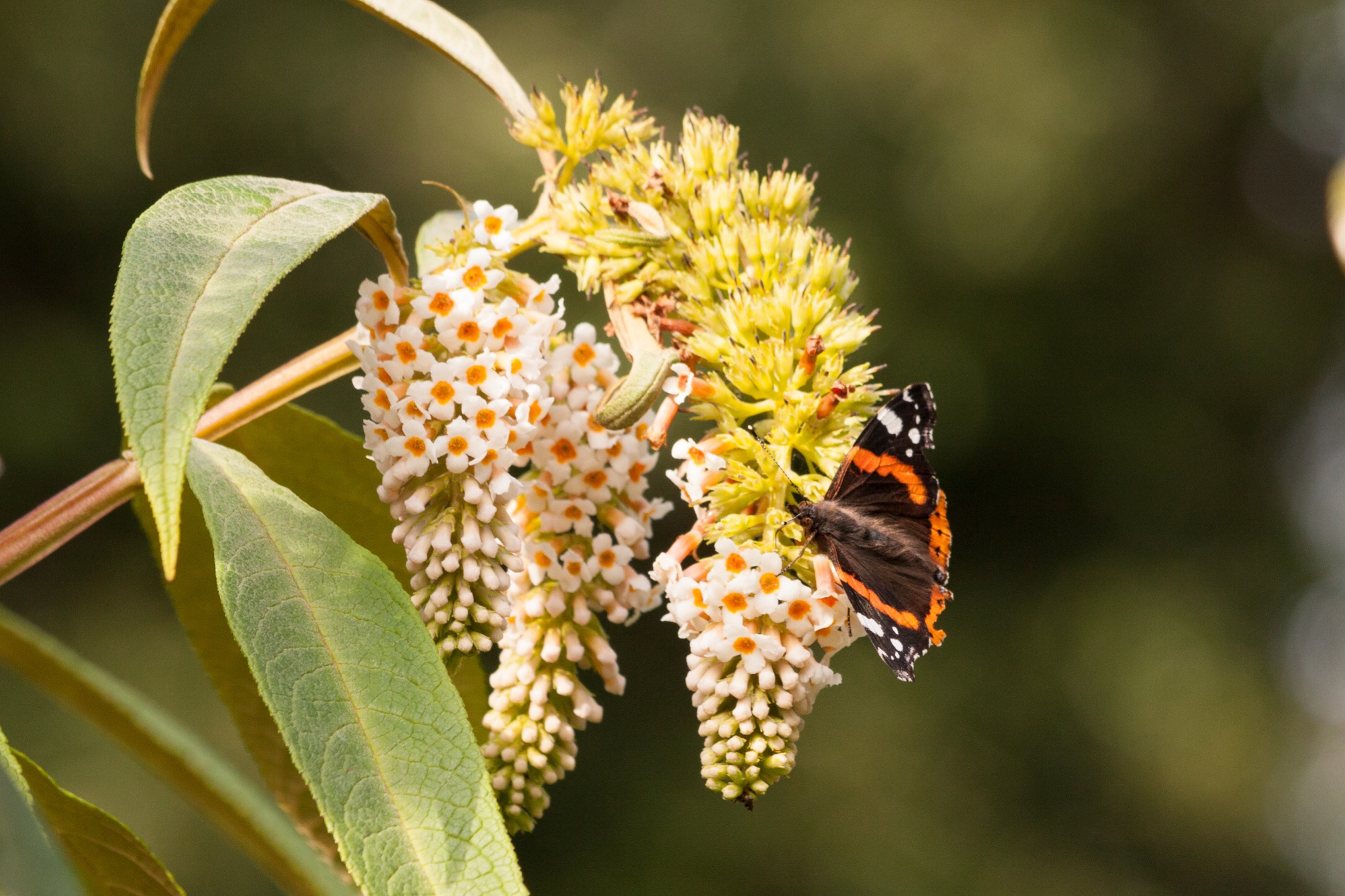 Look up to catch a glimpse of a Red Admiral butterfly before he leaves for winter