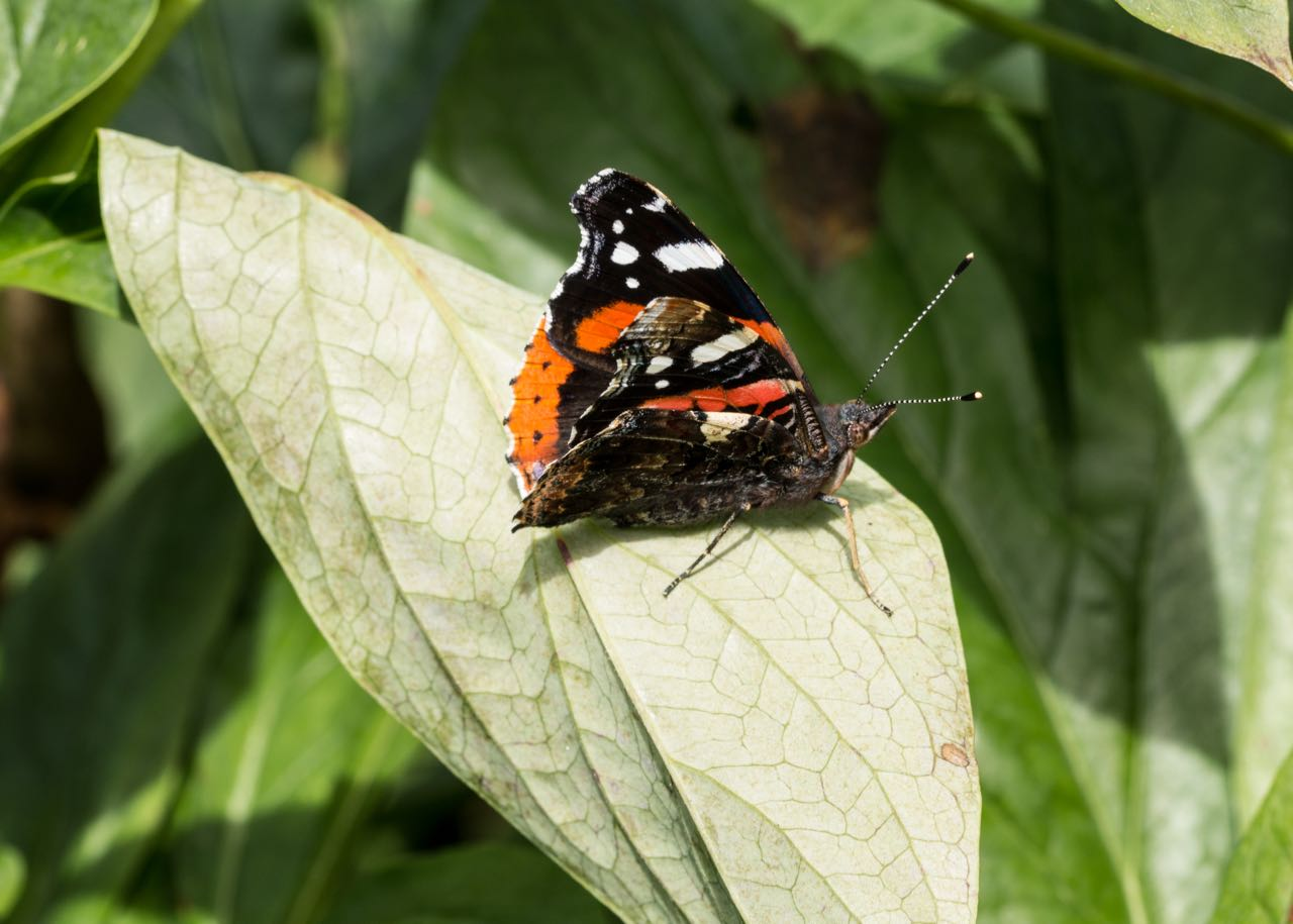 leaf me alone : Red Admiral butterfly