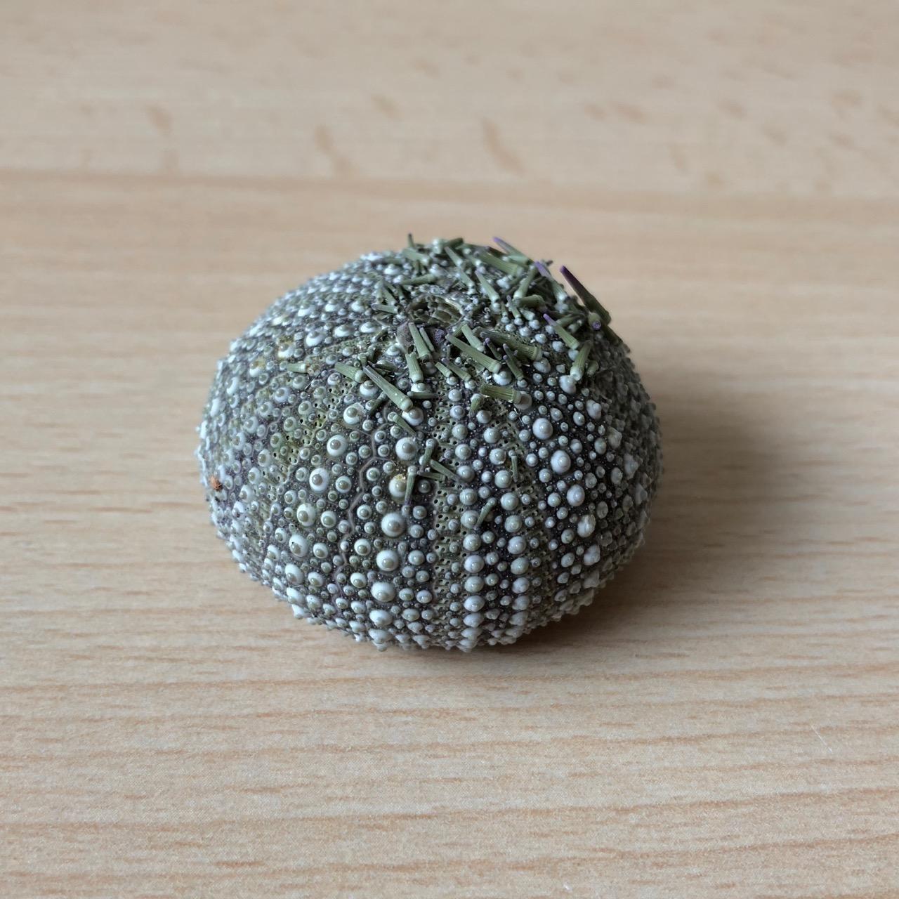 Treasures of the sea : sea urchin