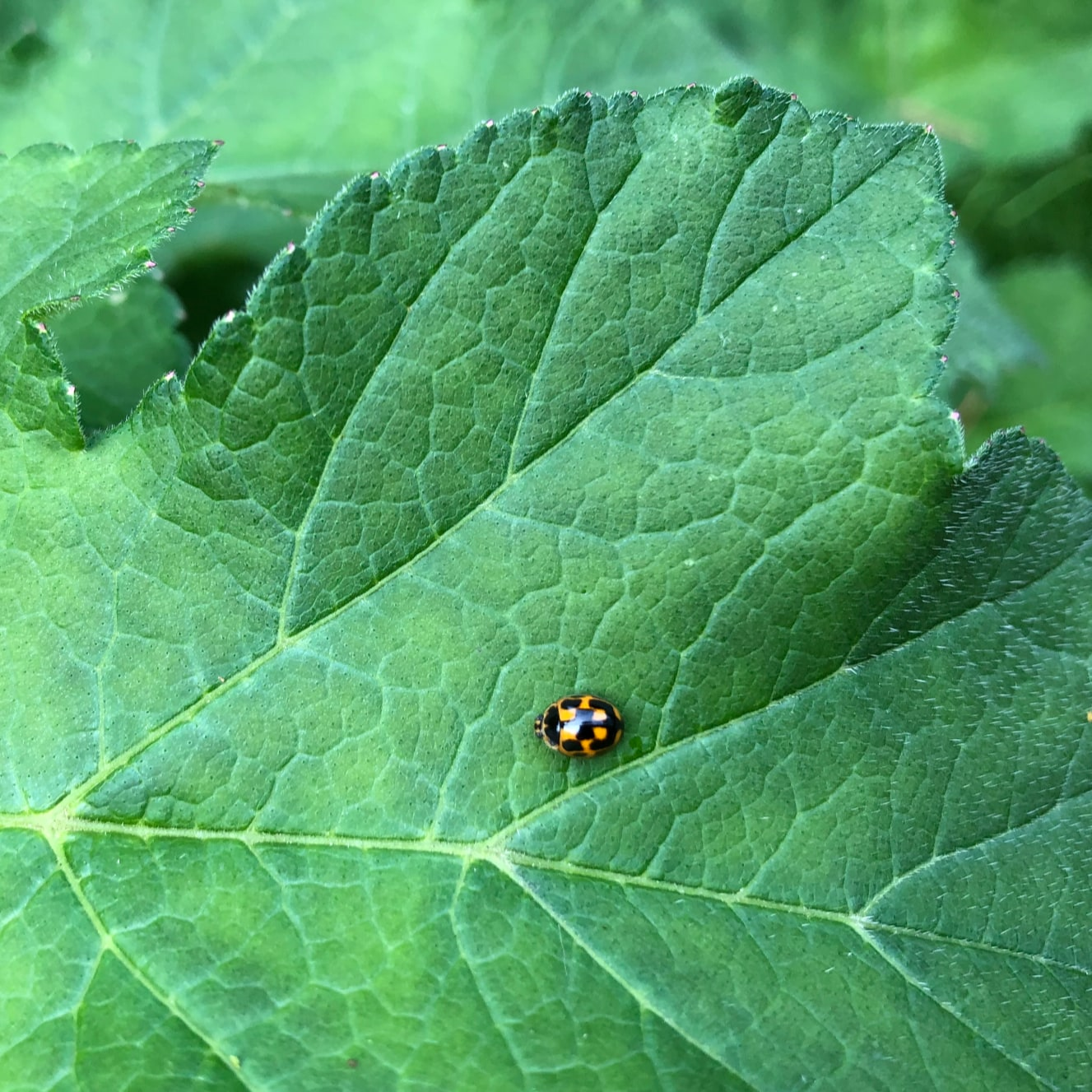 14 spot UK ladybird