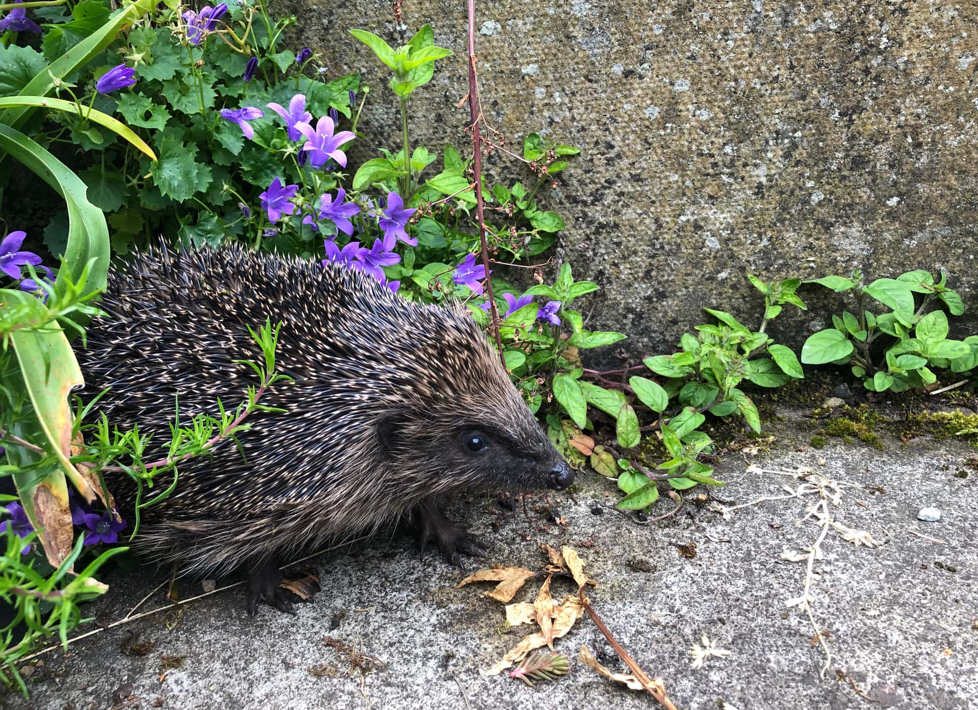 Our new resident hedgehog peeping out this morning