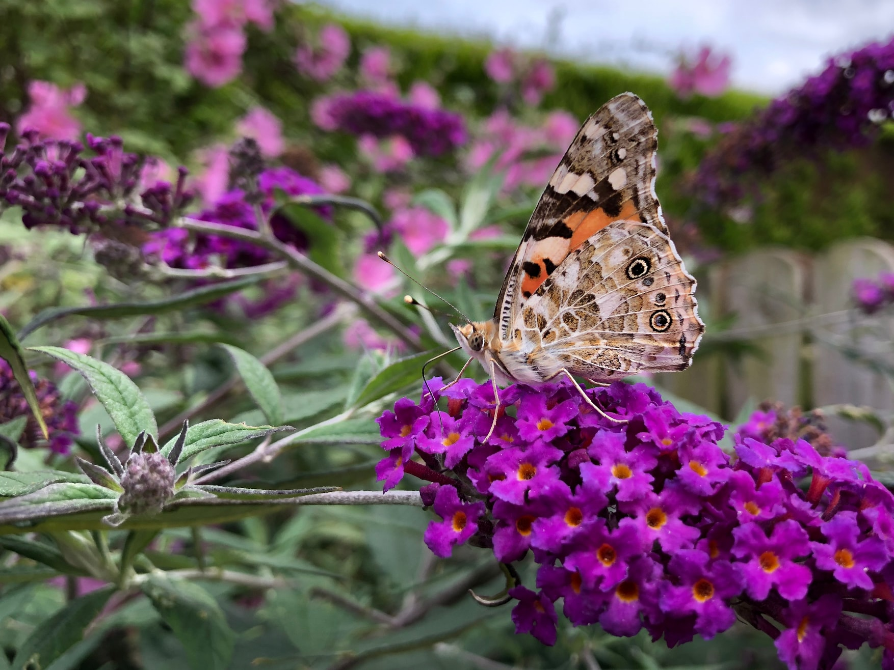 Painted Lady butterfly, buddleia providing food
