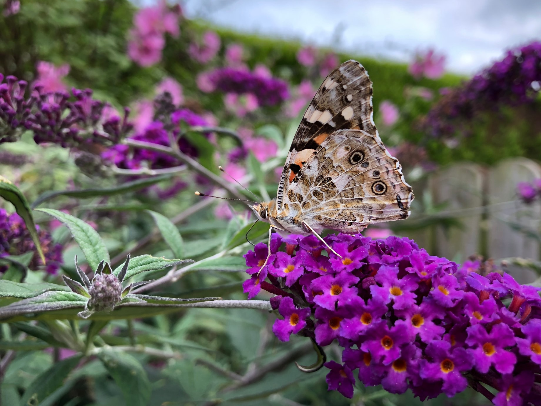 banquet for the painted lady