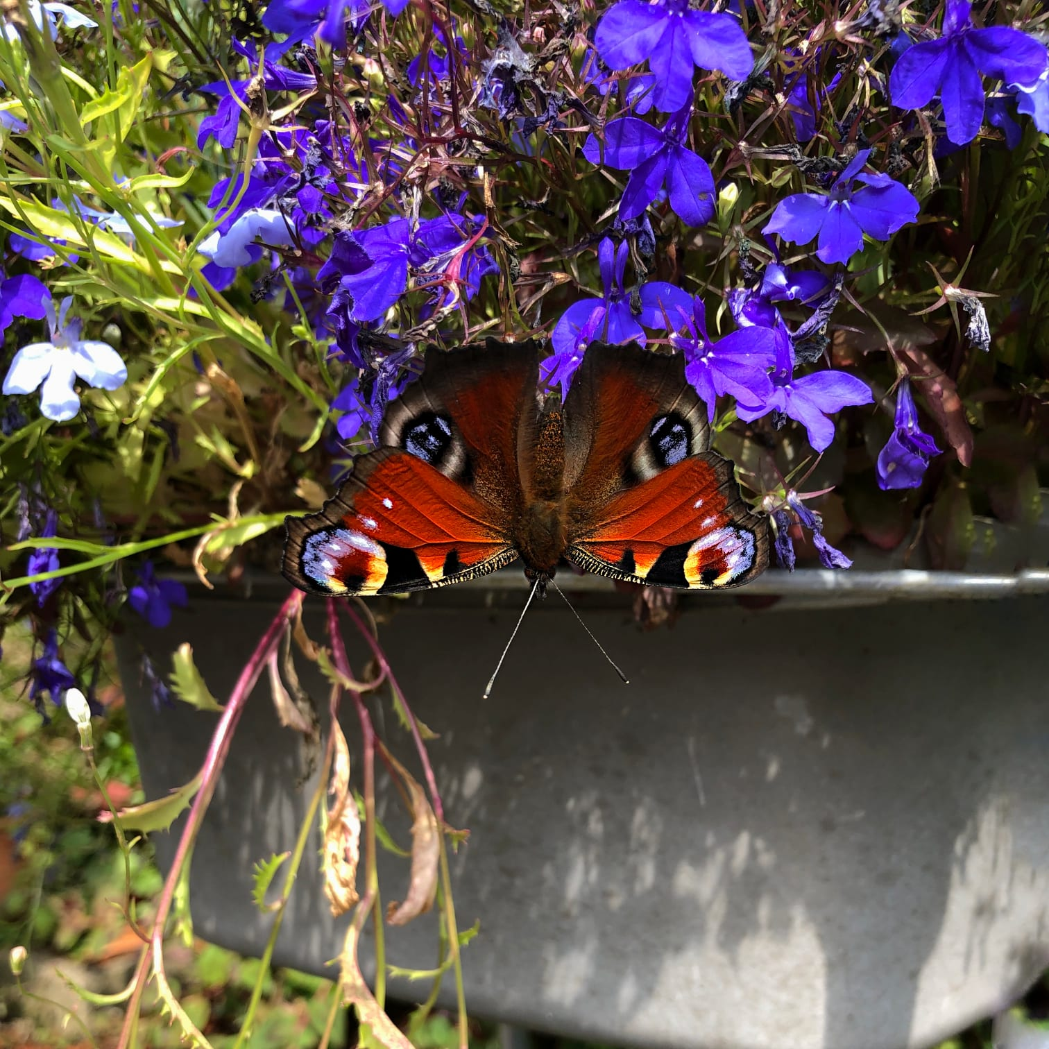 Peacock butterfly. It doesn't matter this was a basin, it's filled with flowers now