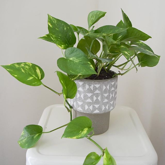 i'm adding a couple of plants to my inventory for deliveries! first up : the potted pothos! send someone some love and a little pick-me-up today at www.cultivatedesignory.com