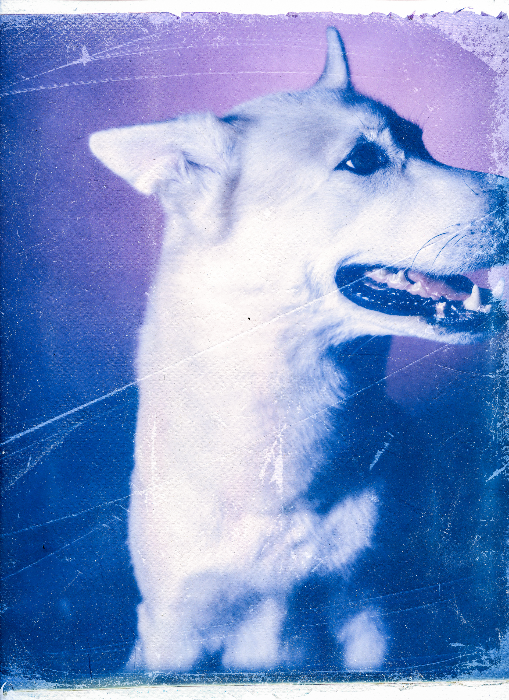 Transfert d'émulsion polaroid  8x10 couleur