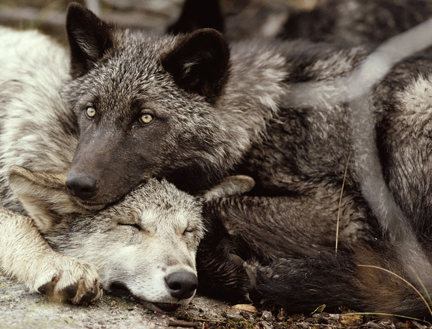 • The wolf's relation to man is one of avoidance unless its circumstances have taught him indifference. The Ojibway Indian name for wolf is Mahengun which means 'a hungry sneak, eternally on the hunt for food.' It is said that the man who sees the wolf is one of the elect, and it is quite true that you can walk a wolf-infested forest all your life and never get a glimpse of one.