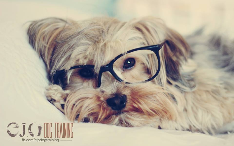 • Like humans, dogs eyesight clarity can range; seeing from as little as 900 feet away to as far as 3000 feet away. This sight quality depends on breed, breeding, genetics and age. So if your boy cant catch a flying cheeto from across the room, maybe its time to go to LensCrafters!