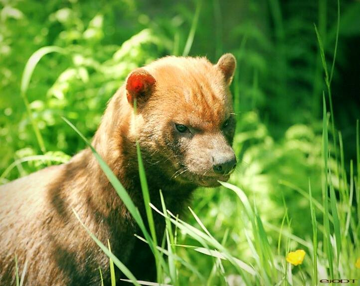 In the same canidae family as our couch warmers at home; I present to you... The Bush Dog! Taking down larger prey then itself, living in familial packs and great swimmers to boot;these guys are dog through and through!