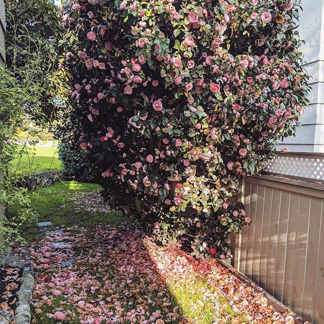 Description  Camellia 🏵️