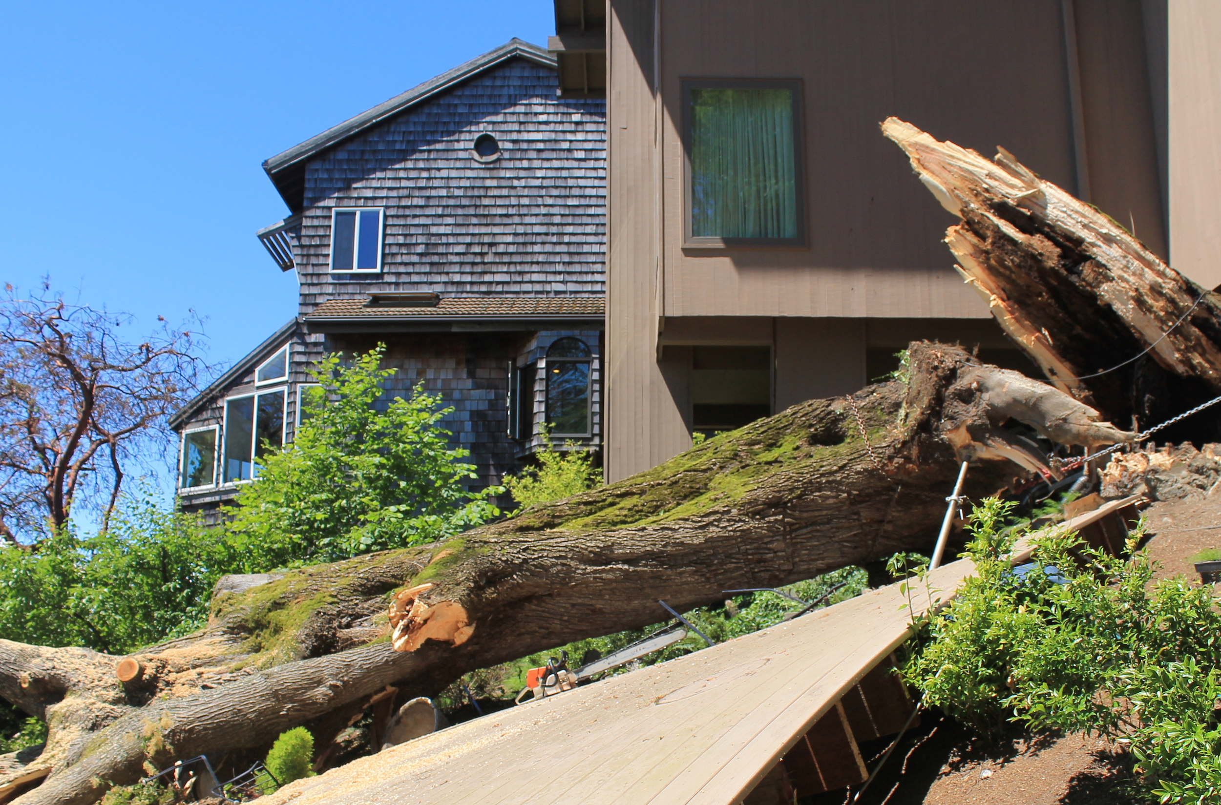 Rotted out big leaf maple that fell on its own. Note the 36 inch bar chainsaw in the center