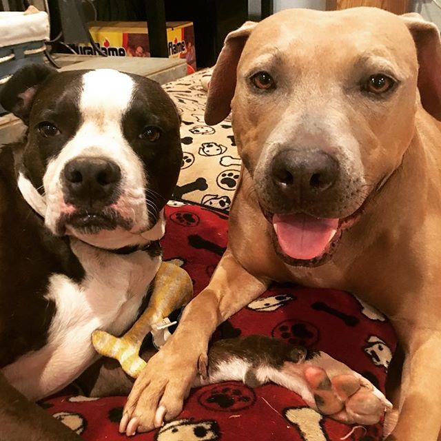 Hi! 🐾  #pitbullsofinstagram #pitbull #pitbulls #muttsofinstagram #rescuedogs