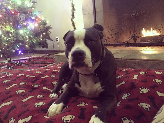 Christmas Cody 🎄🐾 #pitbullsofinstagram #pitbull #christmasdog #muttsofinstagram