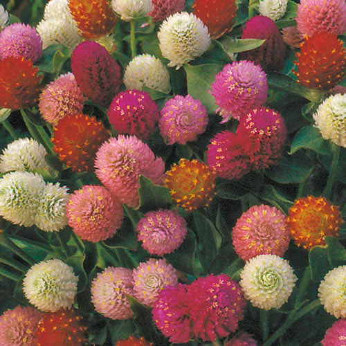 amaranth red and pink.jpg