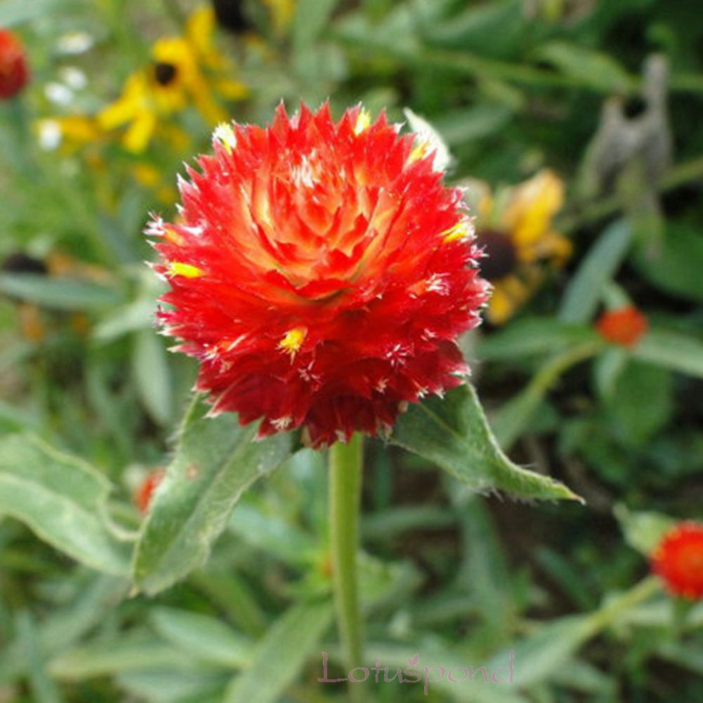 amaranth single red.jpg