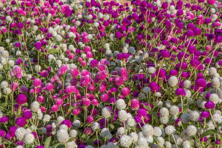 amaranth purple and pink.jpg