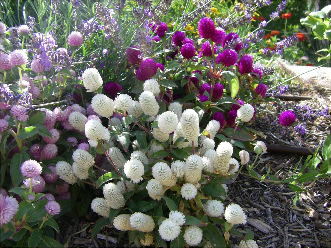 amaranth purple and white.jpg