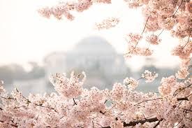 cherry blossoms jefferson haze.jpg
