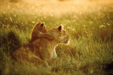 lion cub with mother. nat'l geo.png