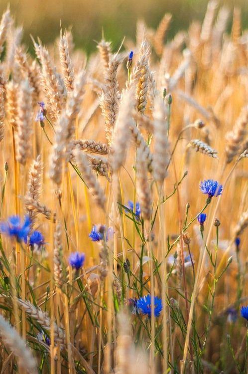 cornflowers in wheat field.jpg