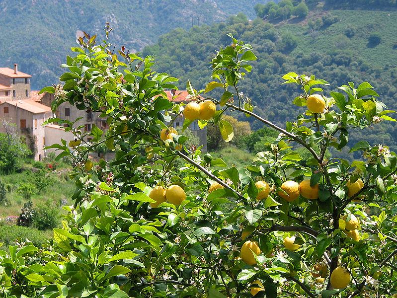 amalfi coast lemon tree 2.jpg